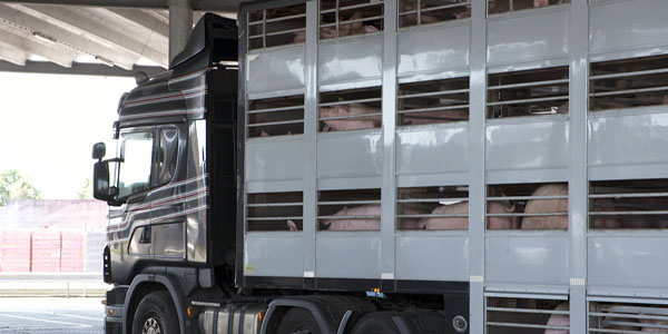 Trailer with pigs