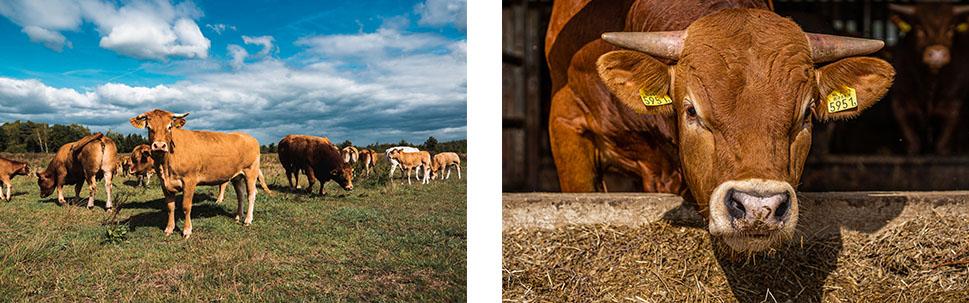 Limousin runderen in de buitenlucht